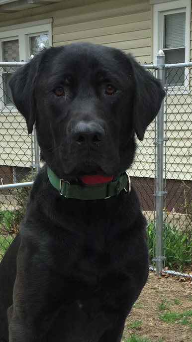 Meet Charlie-he is a two year old Black Lab